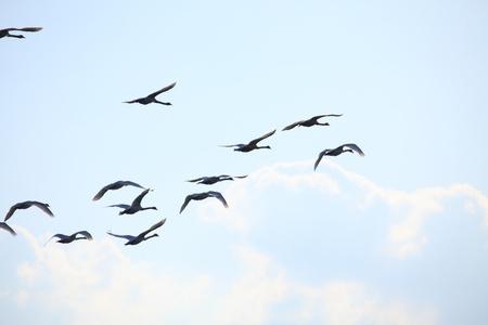 Migration birds swan on blue sky in Flight photo