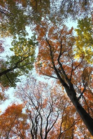 blue sky in autumn forest, autumn colours, Poland, Europe  photo