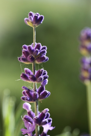 close-up of purple, violet flowers green meadow background Stock Photo - 13187379