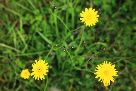 green grass and dandelion flowers background Stock Photo - 14235115