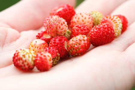 wild strawberry hand full of wild strawberries outdoor photo