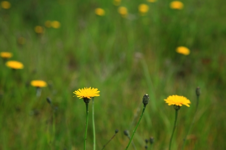 green grass and dandelion flowers background photo