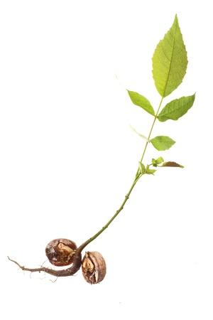 closeup of a Walnut tree isolated on white photo