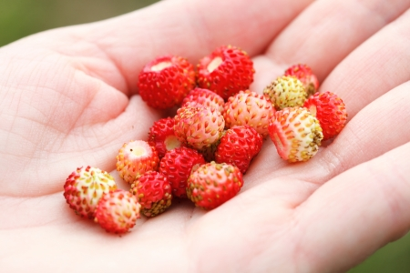 wild strawberry: wild strawberry hand full of wild strawberries outdoor