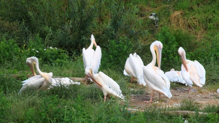 pelikan: Pelicans in Zoo white pelikan on green birds Stock Photo