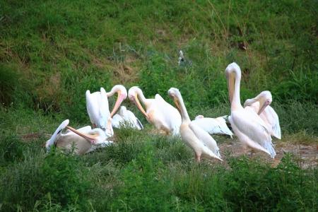 pelikan: Pelicans in Zoo white pelikan on green birds Stock Photo