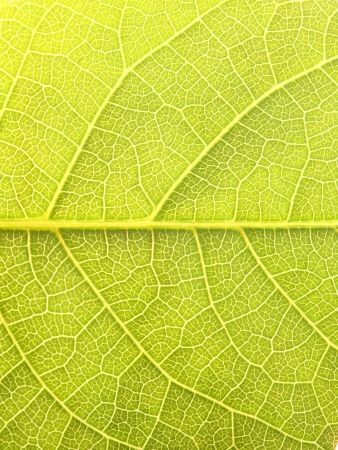 Close up of the walnut leaf texture photo