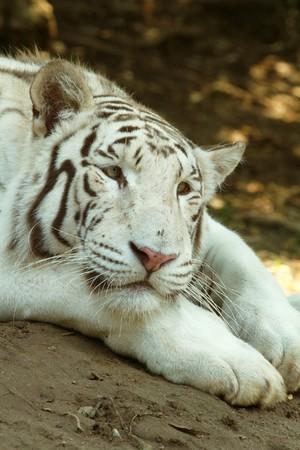 white tiger Stock Photo - 7271741