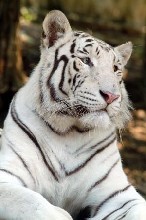white tiger Stock Photo - 7271775