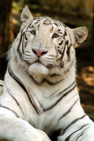 white tiger Stock Photo - 7271764