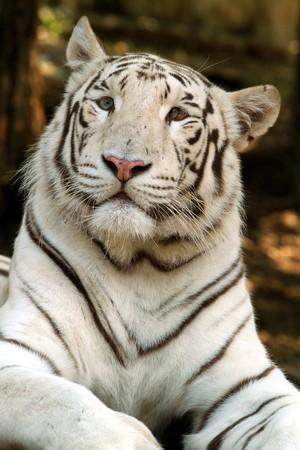 white tiger Stock Photo - 7271764