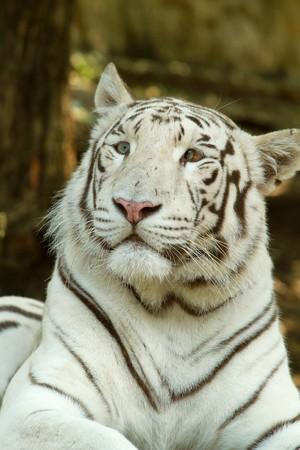 white tiger Stock Photo - 7271761