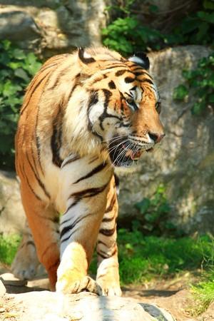 big ear: tiger