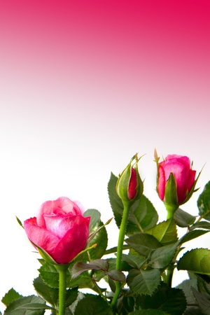 rose frame: roses
