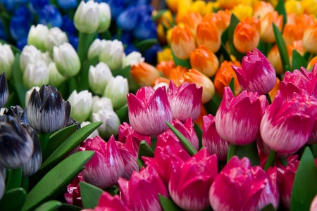 a group of colored wooden  tulip in holland photo