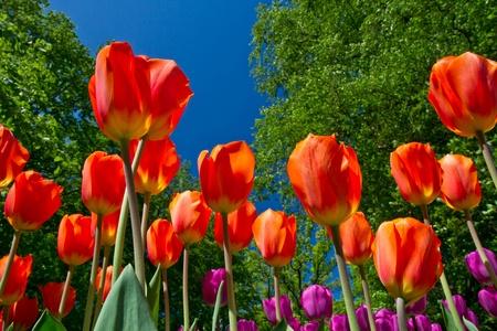 Colorful Tulips in Keukenhof Garden photo