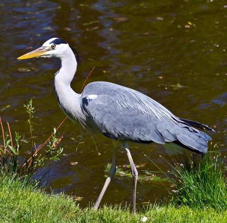 herodias: great blue heron, ardea herodias