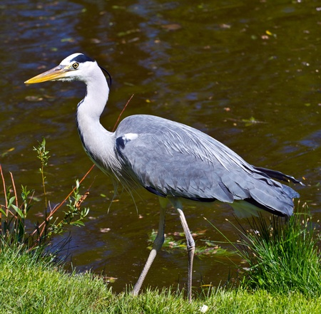 grey heron: great blue heron, ardea herodias