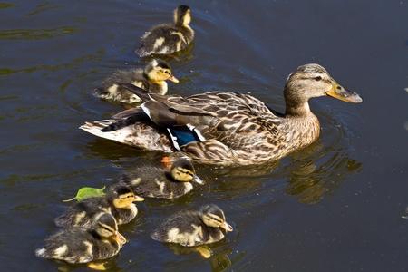 mallard: mallard duck and baby ducklings  Stock Photo