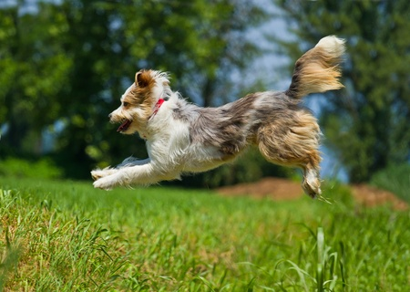 the faithful: Jumping dog  Stock Photo