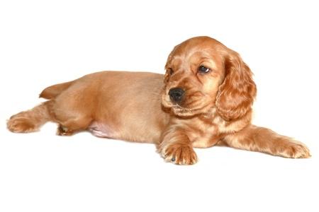 spaniel dog isolated on white background Stock Photo - 9924510
