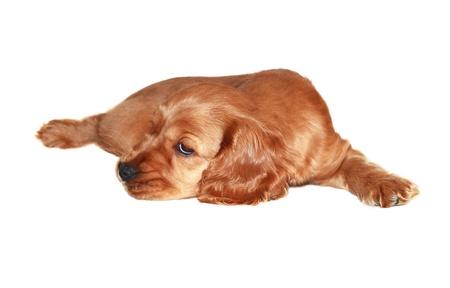 spaniel dog isolated on white background Stock Photo - 9924506