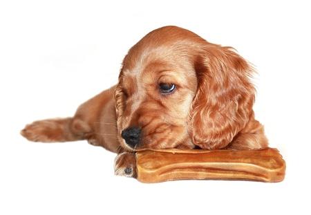 spaniel dog isolated on white background Stock Photo - 9924393