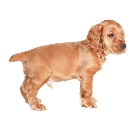 spaniel dog isolated on white background Stock Photo - 9924394
