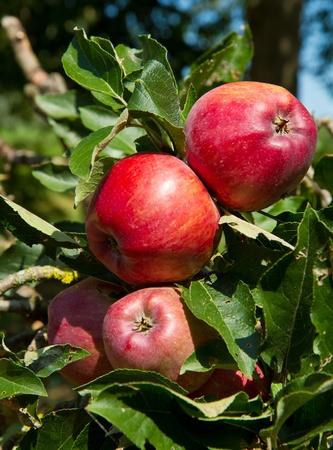 manzanas en la rama de árbol de apple  Foto de archivo