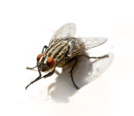 irritate: black fly Stock Photo