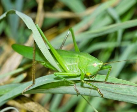 predatory insect: green cricket Stock Photo