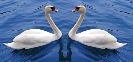 a couple of white swan photo