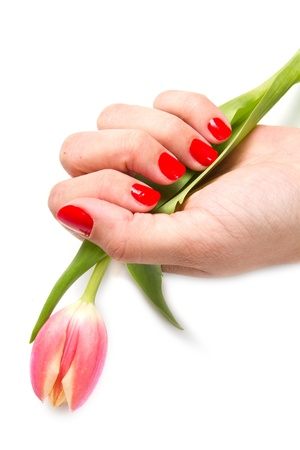 Woman hands with red manicure and tulip photo