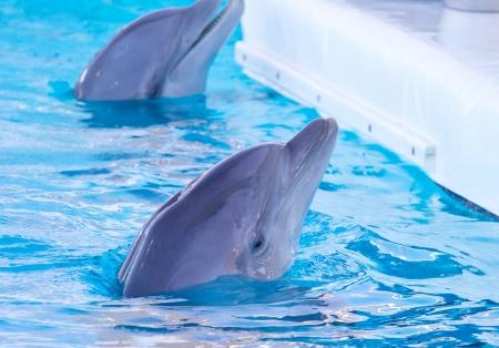 sea creature: dolphin swimming in the pool