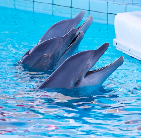 dolphin swimming in the pool Stock Photo - 14233459