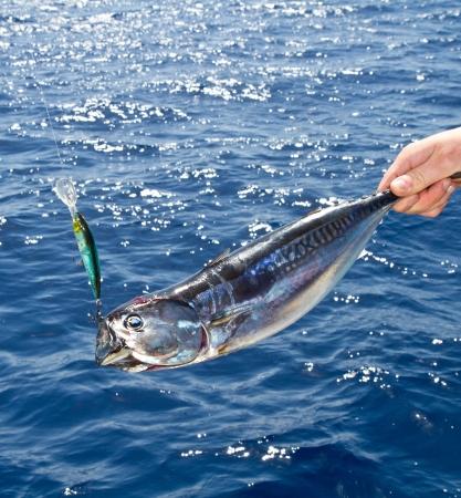 atun rojo: El atún de aleta azul del Mediterráneo la pesca de altura Foto de archivo
