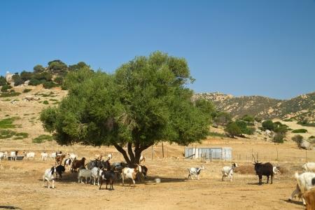 goats on a mountain meadow at villasimius, Sardinia, italy photo