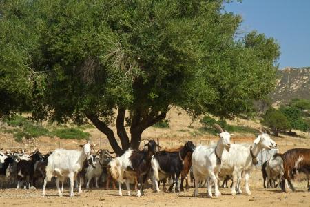 sardinia: goats on a mountain meadow at villasimius, Sardinia, italy Stock Photo