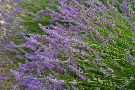 flowers of lavender photo
