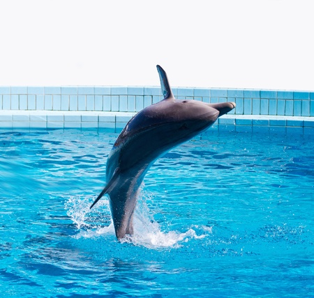 grampus: dolphin jumping high from bue water