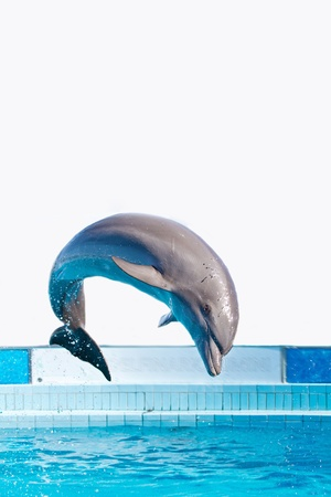 dolphin jumping: dolphin jumping high from bue water