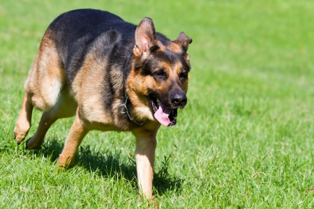 sephardi: German shepherd dog