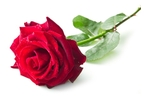 Single red rose flower isolated on white background  photo