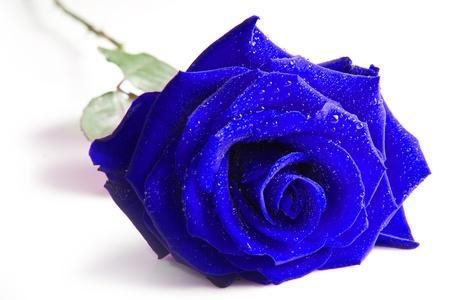 Blue rose isolated on white background  photo