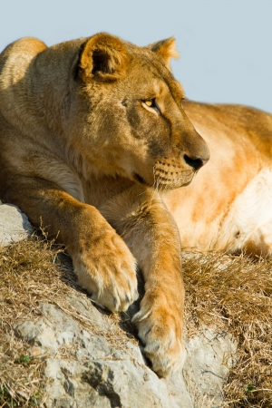 ugandan: Lioness  lying on the rocks Stock Photo