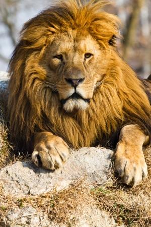 the lions: perfil de un le�n africano relajado mirando en el zoo