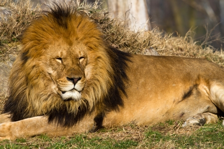 profile of a relaxed African lion staring in the zoo photo