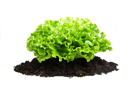humus: Green bush of salad on soil humus bed isolated Stock Photo
