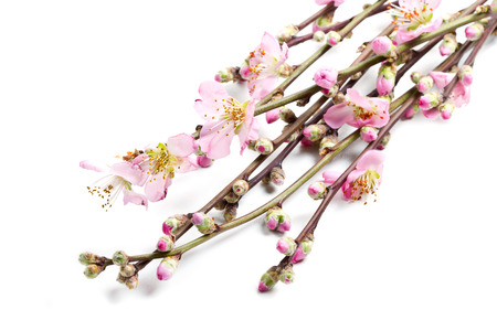 peach blossom: peach flowers isolated on white  Stock Photo