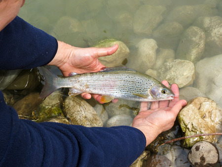 species: The grayling Thymallus thymallus is a species of freshwater fish